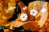 orange bougainvillea (Martin LaBar) Tags: california flowers shadow sun flower macro bougainvillea lemongrove bracts skylinedrive sandiegocounty supershot diamondclassphotographer flickrdiamond wonderfulworldofflowers nyctiginaceae