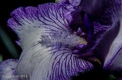 German Iris (Michigan Transplant) Tags: iris flower macro closeup nikon purple blume shimmer germaniris 18300mm nikond5100