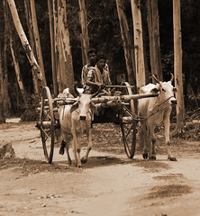 Bullock cart. (soumen19xx) Tags: wood trip travel trees people india plant color tree leaves w