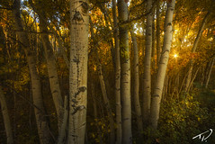 Aspen, Sunstar (Tyler Porter Photography) Tags: autumn trees orange color fall classic leaves yellow landscape colorful vibrant fineart vivid professional foliage aspen intimate starburst sunstar tylerporter