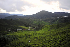 Tea Plantation (alvinclsmy) Tags: morning green tea farm malaysia pahang teaplantation cameronhighland 2013 bohteacentre sungaipalas nikond700 alvinclsmy