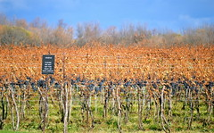 Please don't eat the fruits of our labours. (winestains) Tags: ontario canada vineyard wine harvest vine niagara winery grapes mile niagaraonthelake country vineyards creek four wine stratus