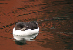 thick billed murre II (S. J. Coates Images) Tags: ontario water birds kingston lakeontario murre