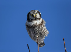 Northern Hawk Owl (qj2013) Tags: hawk owl northern vision:outdoor=099 vision:sky=06