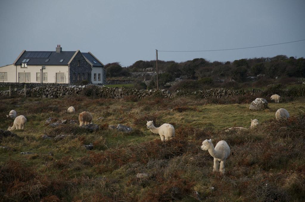 фото: The Burren funny habitants
