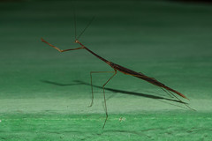 Praying Mantis (mcvmjr1971) Tags: macro brasil mantis sãopaulo praying nikond50 american louvadeus thespidae