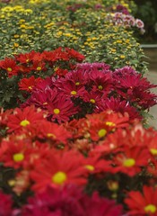 Rows of daisies (Orion Auriga) Tags: flowers red daisies bright malaysia cameronhighlands eos1000d