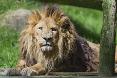 Male lion lying and looking at me
