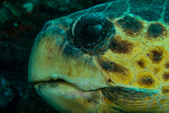 turtleOct4-13 (divindk) Tags: ocean sea eyes marine underwater turtle caribbean reef seaturtle caymanislands endangeredspecies underwaterphotography grandcaymanisland carettacaretta loggerheadturtle diverdoug cobaltcoastresort