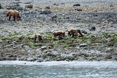 _MG_4247a (markbyzewski) Tags: alaska cub ugly brownbear grizzlybear glacierbaynationalpark