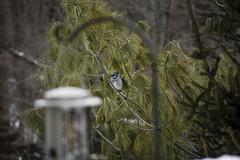 Framed Blue Jay (mmas6986) Tags: winter cold bird birds pine bokeh framed feeder bluejay seeds