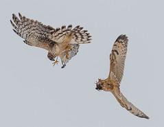 Fighting over Dinner (Train Chaser) Tags: owl shortearedowl