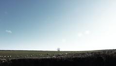 Sheep - Somerset
