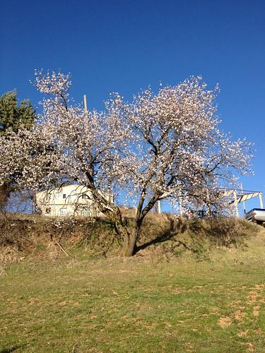 Mandorlo in fiore marzo 2012