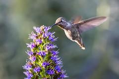 2014 Hummer # 83 (Tongho58) Tags: hummingbird 400 mm hummer 400mm prideofmadeira tongho58 vision:mountain=0721 vision:plant=0833