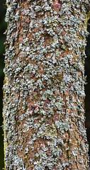 Lichen on tree bark (After-the-Rain) Tags: trees northumberland lichen hadrianswall northumberlandnationalpark hadrianswallpath walltownquarry joanthirlaway march2014