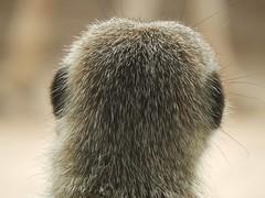 Back of a Meerkat's Head (mikecogh) Tags: back meerkat furry head ears adelaidezoo