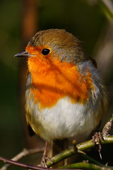 DSC00752 - Robin (steve R J) Tags: london robin birds gardens explore british kensington
