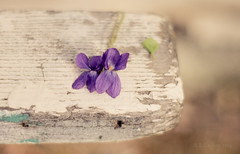 A Taste Of Spring (SimplyAmy74) Tags: weather vintage spring nice paint purple minolta bokeh weekend walk sony idaho springbreak simplicity pacificnorthwest taste simple chipped coeurdalene naturewalk blooming purpleflowers lakecabin coeurdalenelake lakecoeurdalene rockfordbay sonya7