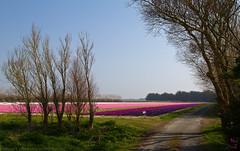 couleurs bretonnes (skol-louarn) Tags: champs culture bretagne jacinthes canonef1740mmf4lusm hyacinthus finistre hyacinths latorche paysbigouden pennarbed plomeur canoneos7d begandorchenn brogernev nadcoz