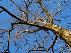 Walk in the Woods:  Ozarks (Ginger H Robinson) Tags: walkinthewoods deciduoustree fallenleaves lateautumn ozarks missouri