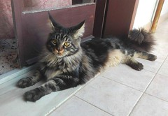 Maine coon 9 months posing (romeosilverpersian) Tags: mainecoon cats cat catphotos pets animalidomestici kitten kittens tabbycats