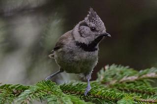 European crested tit - Parus cristatus -Finnish: Töyhtötiainen