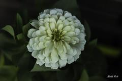 Zinnia (NELIDA RICHI FOTOGRAFIA) Tags: canon 600d rebel t3i eos flor flower fiori 50mm garden natura naturaleza nature airelibre zinnia flordepapel textura petalos vida flickr