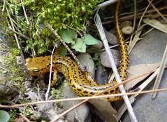Eurycea longicauda_long-tailed salamander_Silver Mills (Pete&NoeWoods) Tags: bedfordcnhi bedfordcounty f16woo18 silvermillsbarrens shalebarren salamander herp eurycealongicauda longtailedsalamander