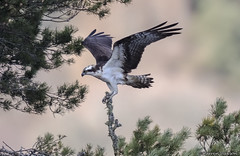 Loch of The Lowes (Scottish_And_Proud) Tags: lm12 loch the lowes osprey