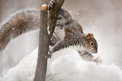 Oh, cr*p!      (Explored) (dbifulco) Tags: animal rodent explored snowing graysquirrel nature newjersey snow wildlife winter
