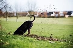 Akira (manuel ek) Tags: dog perra perro hund pinscher hundfält bulltofta malmö manuelekphoto nikon d610 akira rabbithole
