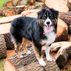12/52 - Dog On A Log (jayvan) Tags: dash aussie australianshepherd dog logs posed happy portland oregon 52wfd 52weeksfordogs sony