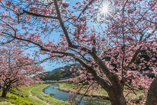 Sakura in Japan 南伊豆町の河津桜