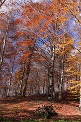 Faggio (SDB79) Tags: autunno pizzone molise parconazionaleabruzzo natura albero foliage foglie bosco sottobosco faggio
