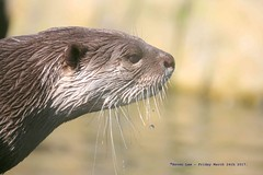 A Little drop of Sunshine...... (law_keven) Tags: otters otter mammals mammal colchester zoo zoology wildlife animal colchesterzoo