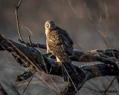 Sunrise with a female Northern Harrier at Muscatatuck NWR. (flintframer) Tags: nwr muscatatuck indiana nature wildlife birds harrier northern female sunrise wow dattilo canon eos 7d markii ef600mm 14x