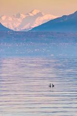 tête à tête en face du Mont-Blanc (Tschissl) Tags: morges vögel lacleman montblanc lakegeneva abendstimmung vaud schweiz ch
