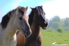Oostvaarderplassen (PAPERCUTSKIN) Tags: oostvaarderplassen nature sun horse black konik wild