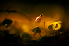 Sad (matthiasstiefel) Tags: flower blossom spring toned aub sad blüte blume frühling bavaria germany bayern deutschland obergine blue traurig trauer sadness triste sauerklee sorrel hyperbeast10
