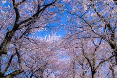 _DSC4459 (sayo-tsu) Tags: sakura cherryblossom saitama gongendopark sattecity 桜 お花見 権現堂 埼玉県