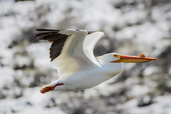 White Pelican (halladaybill) Tags: crowleylakemarina easternsierrabirdingtrip whiterpelican monocounty easternsierras bird animal pelican nikond500 nikkor200500zoomlens audubon seaandsageaudubon mountains flier