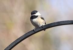 (careth@2012) Tags: bird chickadee nature wildlife beak perched feathers