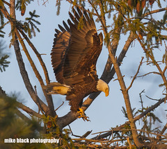Bald Eagle leap Canon 5DSR see full size (Mike Black photography) Tags: bald eagle bird nature new nj jersey shore canon 5dsr 800mm l is usm lens big year birding april 2017