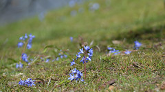 Spring is on it`s way also in Gothenburg. For my album My Flowers (2) (andantheandanthe) Tags: flowers flower spring springtime gothenburg göteborg blom blome blooming plants perennial blue