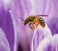 pollen butt (marianna_a.) Tags: p1180462 bee pollen crocus stamen flower spring fresh
