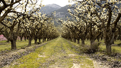 Perspective Almonds (Jose A. Parra) Tags: almendros almonds flowers flores perspectiva perspective neture alboles tree land