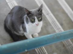 20170312 (☆_moyoco_☆) Tags: 201612 マレーシア 猫