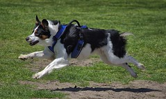 Mid Air Action (swong95765) Tags: joy dog canine mission leap midair focused action animal pet
