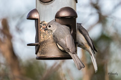Two Tufted Titmice Dining Out (Jersey Camera) Tags: titmouse titmice tuftedtitmouse tuftedtitmice baeolophusbicolor